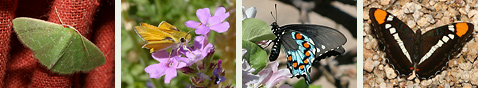 Arizona Butterflies and Moths