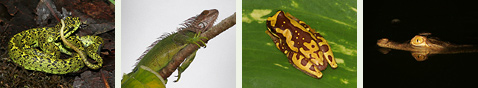 Costa Rican Reptiles and Amphibians