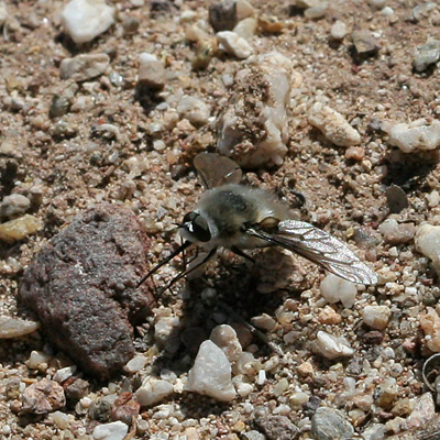Bee Fly (Family Bombyliidae)