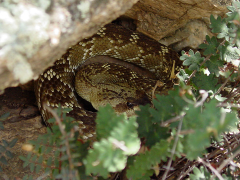 Blacktail Rattlesnake (Crotalus molossus)
