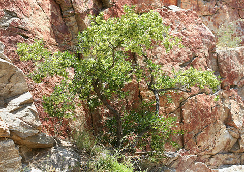 Florida Hopbush (Dodonaea viscosa) in Tucson, Arizona's Sabino Canyon