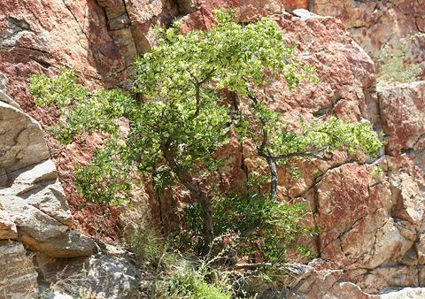 Florida Hopbush (Dodonaea viscosa) in Tucson, Arizona's Sabino Canyon