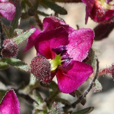 Krameria erecta (Littleleaf Ratany)