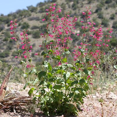 Desert Penstemon (Penstemon pseudospectabilis)