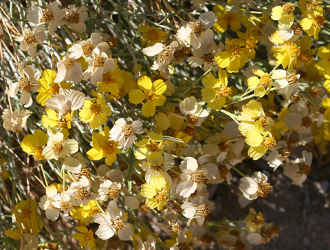 Whitestem Paperflower (Psilostrophe cooperi)