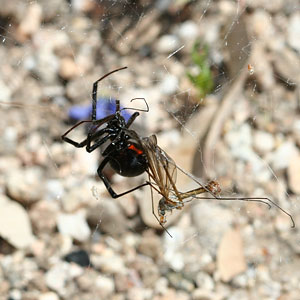 Black Widow Spider (Latrodectus sp.)