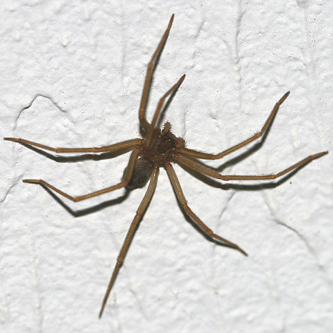 Arizona Brown Spider (Loxosceles sp.)