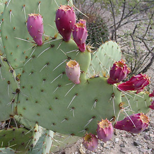 Heart-shaped Cactus Apple or Engelmann's Pricklypear (Opuntia engelmannii) pad