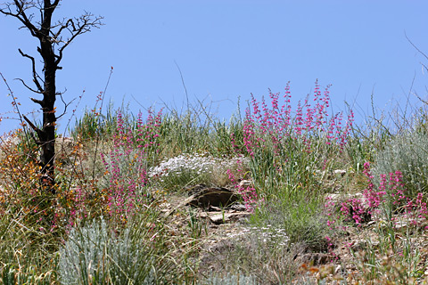 Wildflowers along Prison Camp Road in the Santa Catalina Mountains