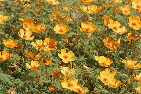 Arizona Poppy (Kallstroemia grandiflora)
