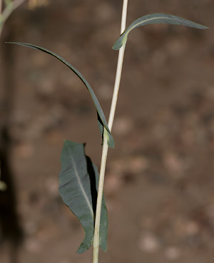 Lactuca serriola (Prickly Lettuce) leaves
