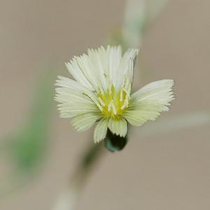 Lactuca serriola (Prickly Lettuce) flower