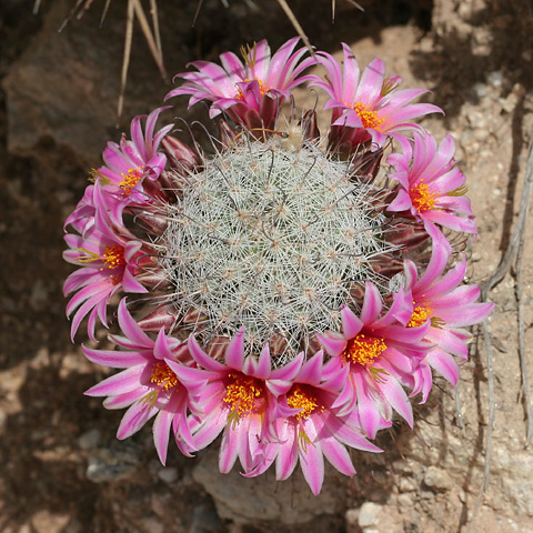 Graham's Nipple Cactus or Pincushion Cactus (Mammillaria grahamii)