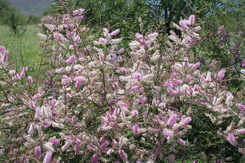 Velvetpod Mimosa or Gatuno (Mimosa dysocarpa)