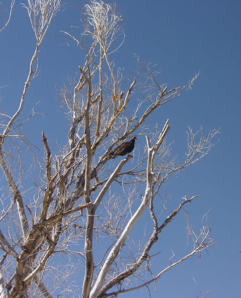Turkey Vulture (Cathartes aura) perched in a dead tree