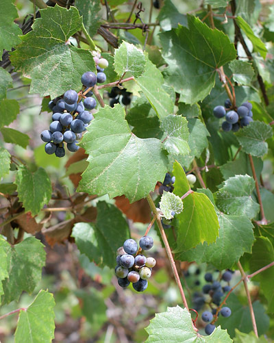 Canyon Grape (Vitis arizonica)