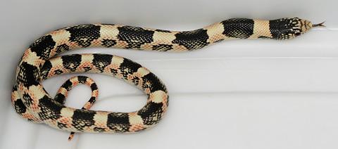 Western Longnose Snake (Rhinocheilus lecontei)