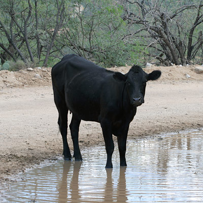 Cow in a mud puddle