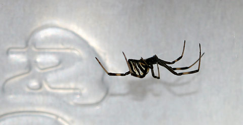 Immature female Black Widow Spider (Latrodectus sp.)