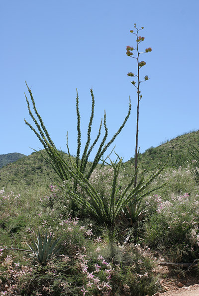 Ocotillos amidst the agaves and pink-flowered Gatunos along Forest Road 485 near Sahuarita, Arizona.
