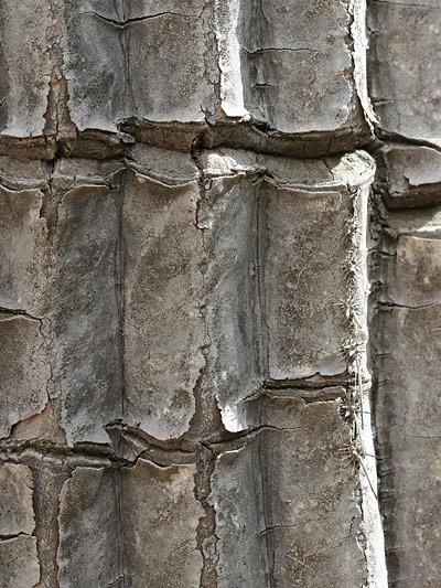 Close-up of a scarred Saguaro (Carnegiea gigantea)