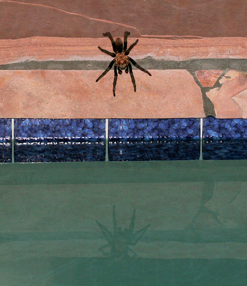 Tarantula at the edge of a pool