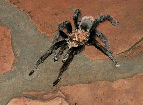 Tarantula in Tucson, Arizona