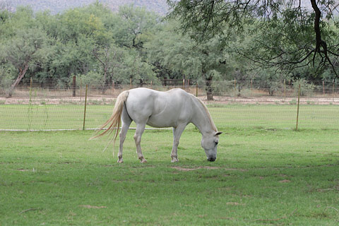 White horse grazing on green grass