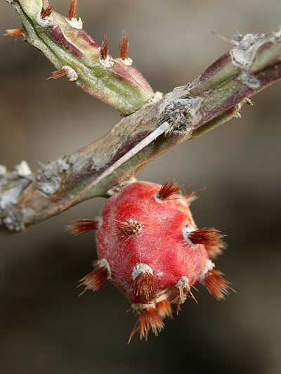Christmas Cactus (Cylindropuntia leptocaulis) fruit