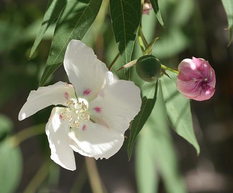 Thurber's Cotton or Desert Cotton (Gossypium thurberi) flower