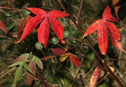 Thurber's Cotton or Desert Cotton (Gossypium thurberi) autumn leaves