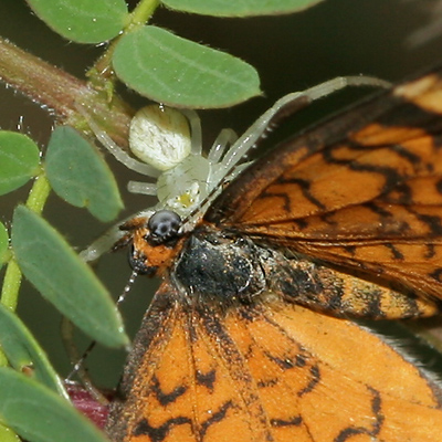 Tiny Checkerspot (Dymasia dymas) butterfly captured by a Flower Spider (family Thomisidae)