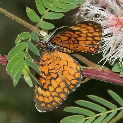 Tiny Checkerspot (Dymasia dymas) butterfly on a Velvetpod Mimosa (Mimosa dysocarpa)