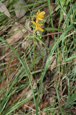 Torrey's Craglily (Echeandia flavescens)