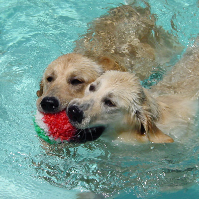 Two Golden Retrievers sharing a toy in a swimming pool