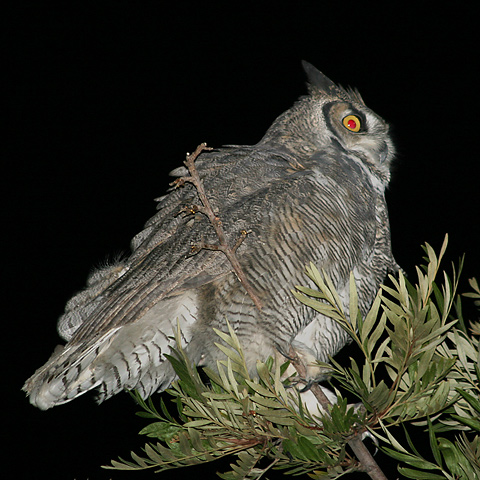 Profile view of a Great Horned Owl (Bubo virginianus)