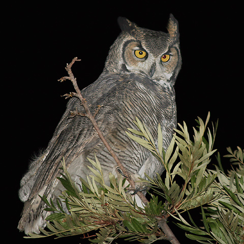 Great Horned Owl Oyster Bay