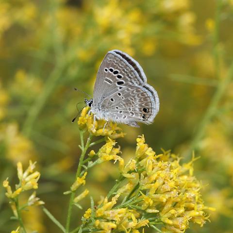 Reakirt's Blue (Echinargus isola or Hemiargus isola) butterfly