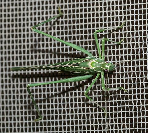 Female Elegant Bush Katydid (Insara elegans)