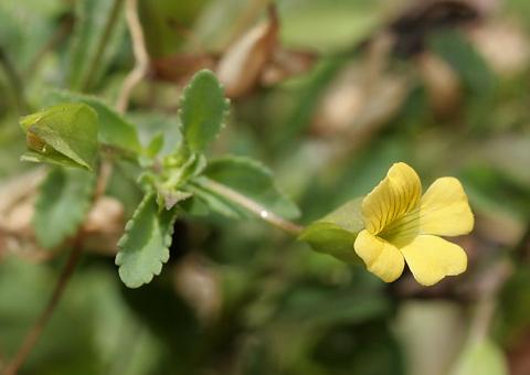 Baby Jump-up (Mecardonia procumbens)