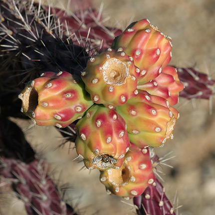 Staghorn Cholla (Cylindropuntia versicolor) fruit