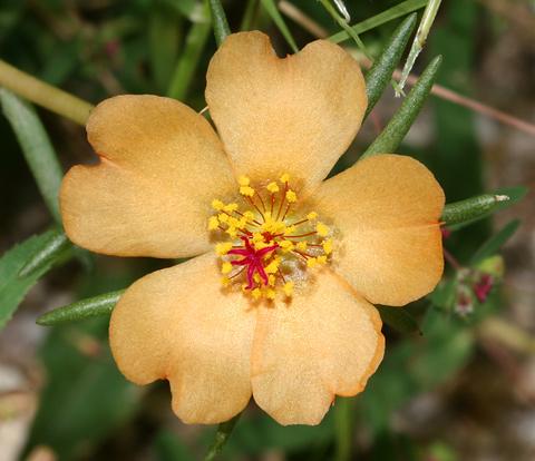 Shrubby Purslane or Copper Purslane (Portulaca suffrutescens) flower