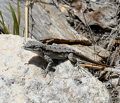 lizards often found crawling around on trees or rocks here in Arizona.