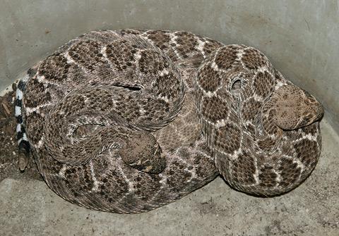 A pair of Western Diamondback Rattlesnakes (Crotalus atrox)