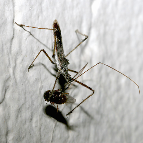 Assassin Bug (Family Reduviidae) feeding on an insect