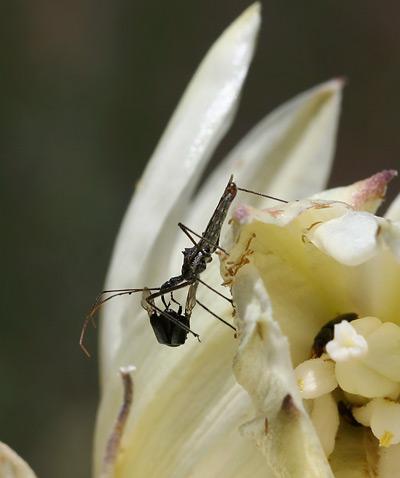 Assassin Bug (Family Reduviidae) feeding on an insect