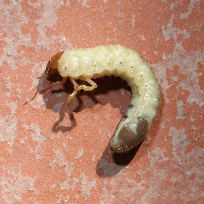 White grub of a beetle in the subfamily Melolonthinae