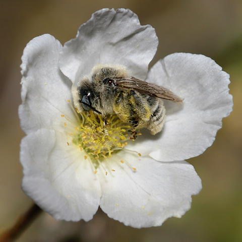 Bee sleeping in an Apache Plume (Fallugia paradoxa) flower