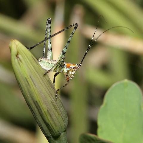 Katydid nymph (Family Tettigoniidae)