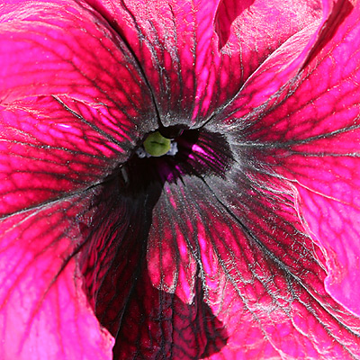 Close-up of Petunia (Petunia x atkinsiana) flower
